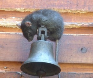 Rat on Bell attached to exterior of building