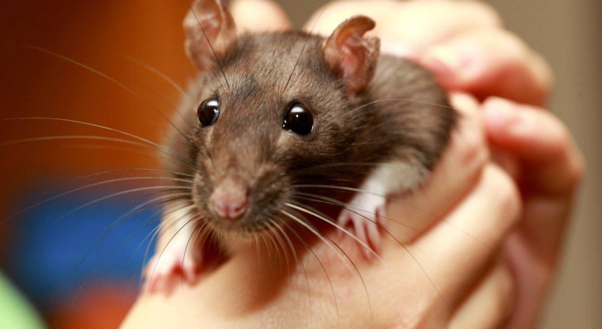 How To Tame New Rats