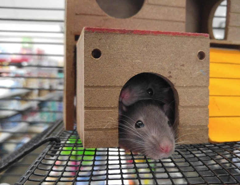 Where Can I Buy Rats?