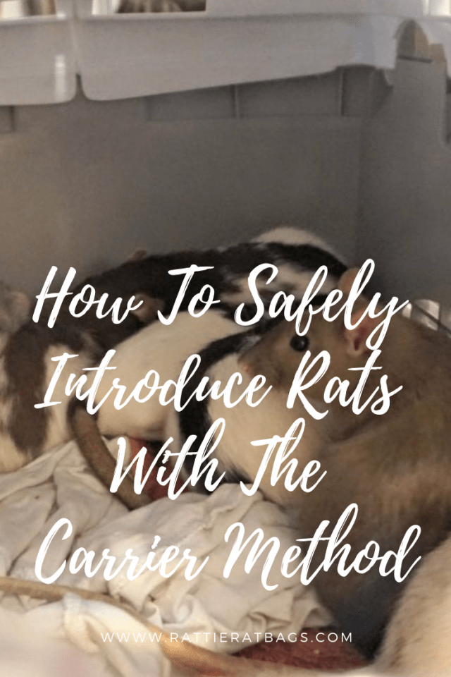 How to safely introduce rats with the carrier method - www.rattieratbags.com