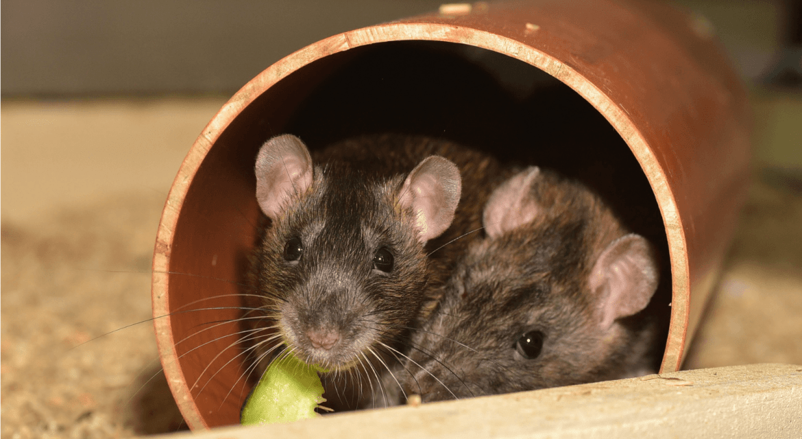 Should I Have A Rat First Aid Kit?