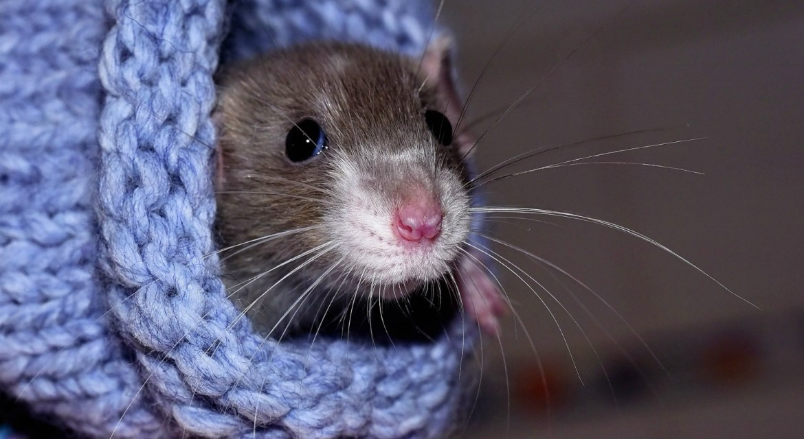 Five Simple DIY Rat Toys To Make With Toilet Roll Tubes