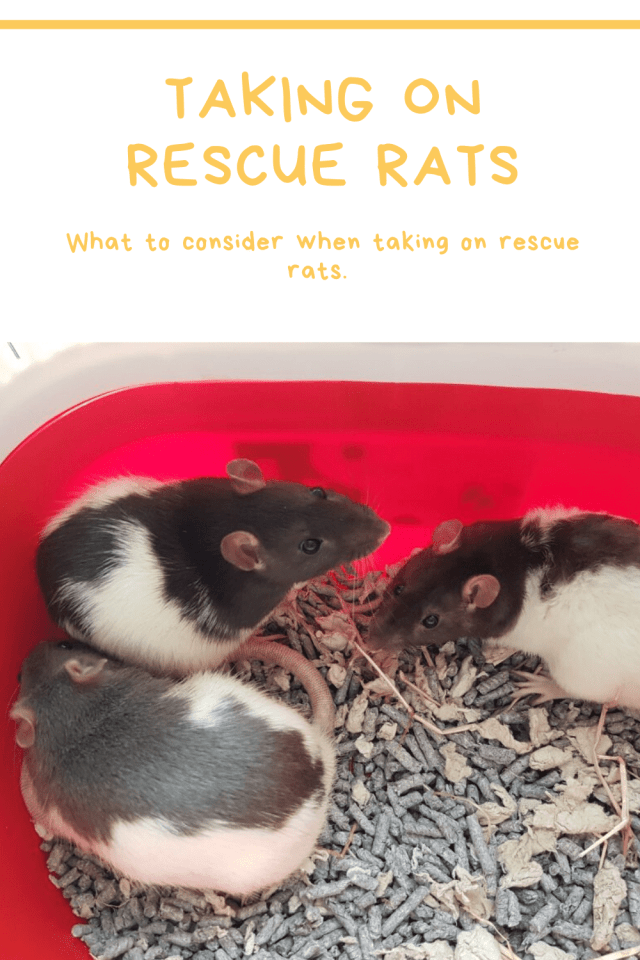 Taking On Rescue Rats