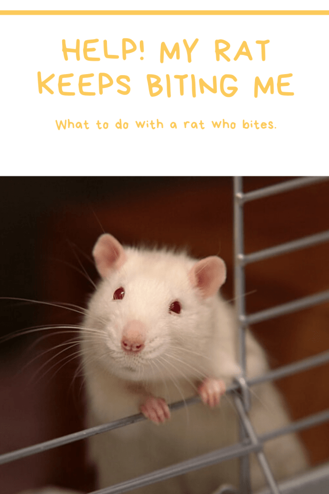 Help! My rat keeps biting me