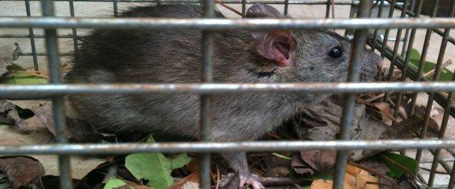 Duluth Rat in Attic