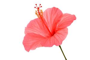Einzelne Hibiskusblüte