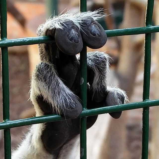 ¿Habíais visto de cerca la mano de un lémur de cola anillada (Lemur catta)?  #almuñecar