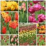 colorful tulip pictures