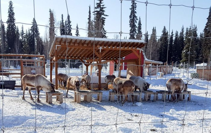 Reindeer eating at Antler Academy in North Pole, Alaska