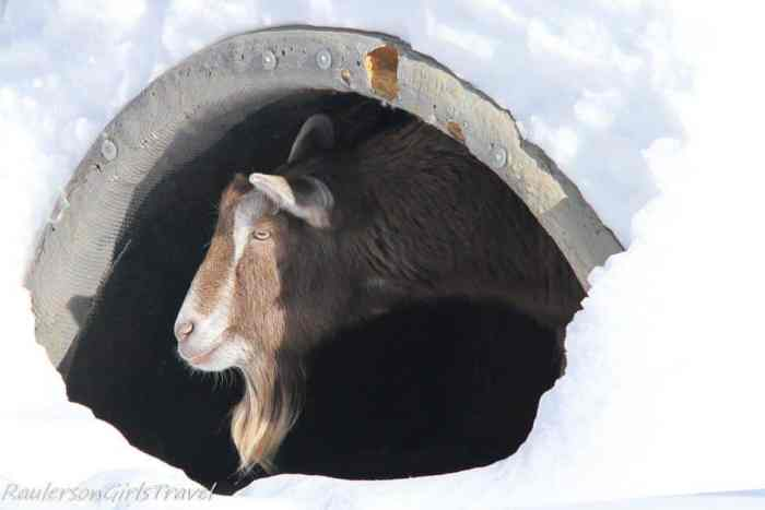 goat sticking his head out