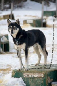 Grizzley 6th place Iditarod sled dog