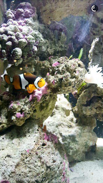 Clown fish at Belle Isle Aquarium