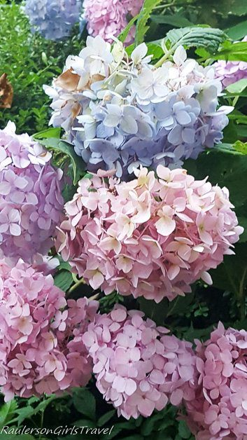 Pink, purple, & blue Hydrangeas