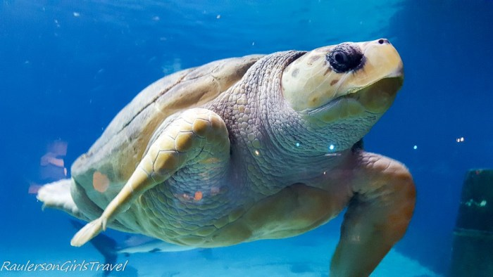 Giant turtle at Adventure Aquarium - spend a fun afternoon in camden, new jersey