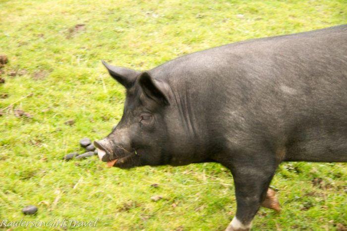 Black Pudding the pig at Molly Gallivan's