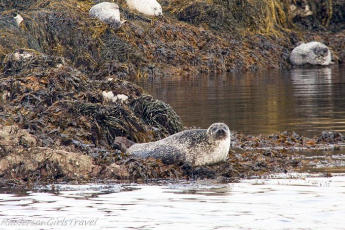 Seals sunning themselves on seaweed in Kenmare Bay
