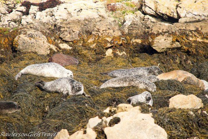 Seals laying on seaweed in Kenmare Bay on Seafari cruise