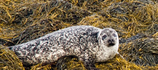 Desperately Seeking Seals on the Seafari Cruise: Kenmare, Ireland