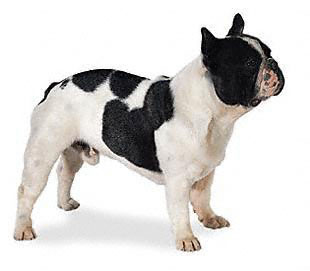 french_bulldog.jpg