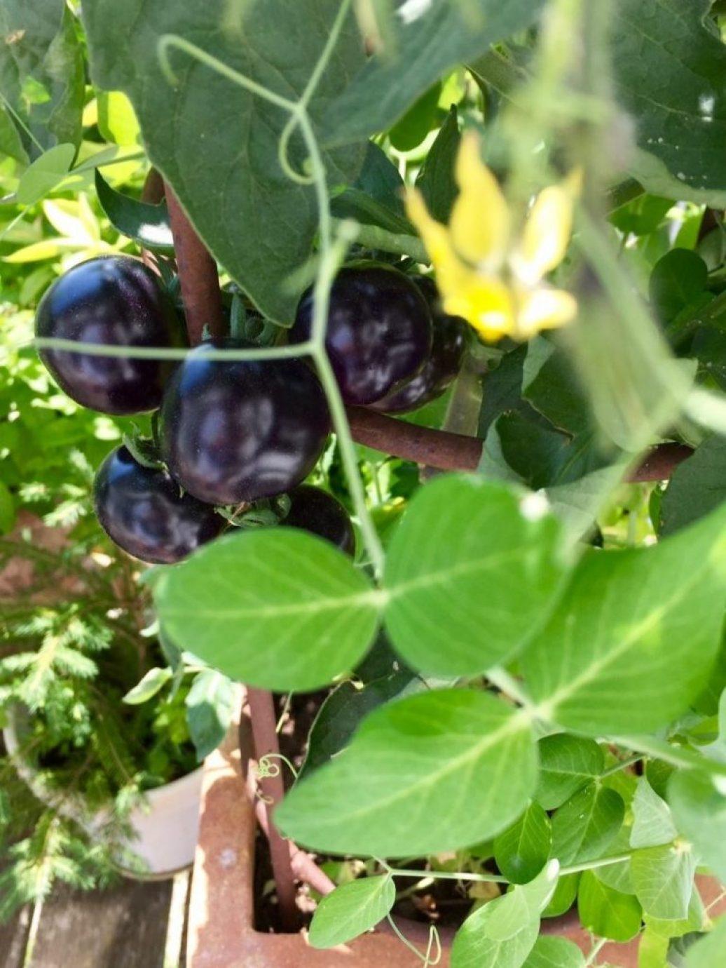 tomaten gibt es auch in schwarz