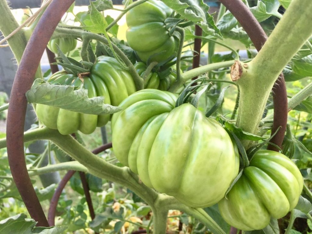 Tomaten in grün!