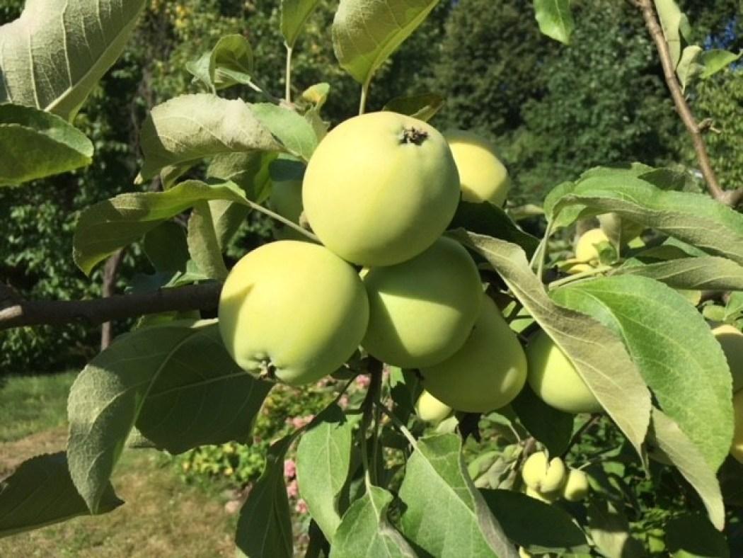 Sonntag aber die Äpfel wachsen immer
