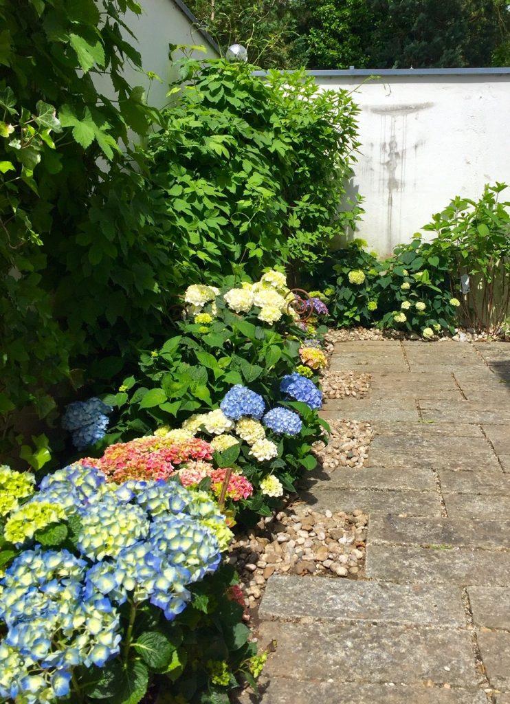 Hortensien farbenfroh vor der Hitze