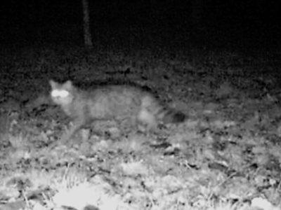 Schwarz-weiß-Foto einer Wildkatze im Wald