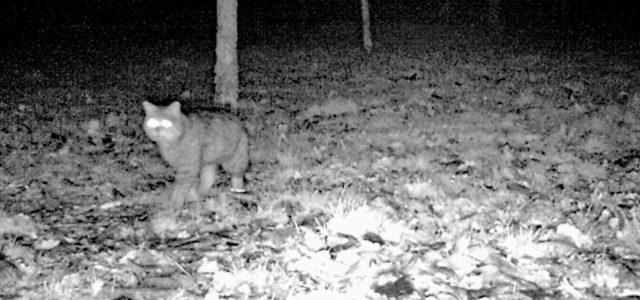 Schwarz-weiß-Aufnahme einer Wildkatze im Wald