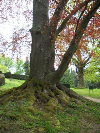Alte Bäume im Schlosspark Kronberg