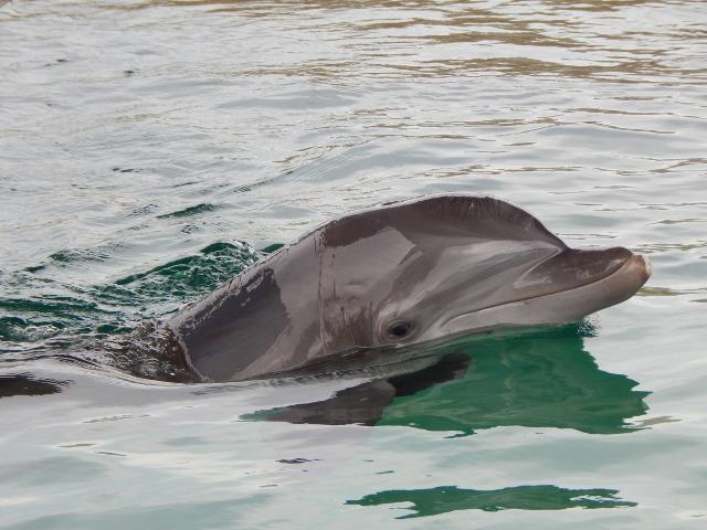 Nicholas, der Delfin