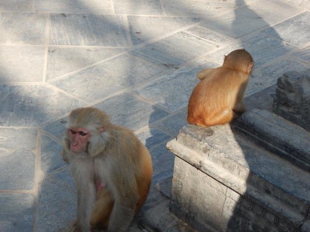 Die Affen des Tempels