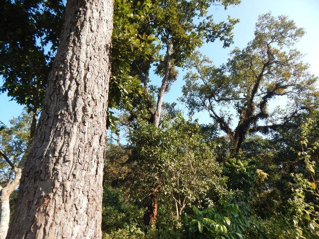 Salbaum im Chitwan NP, ein Salwald