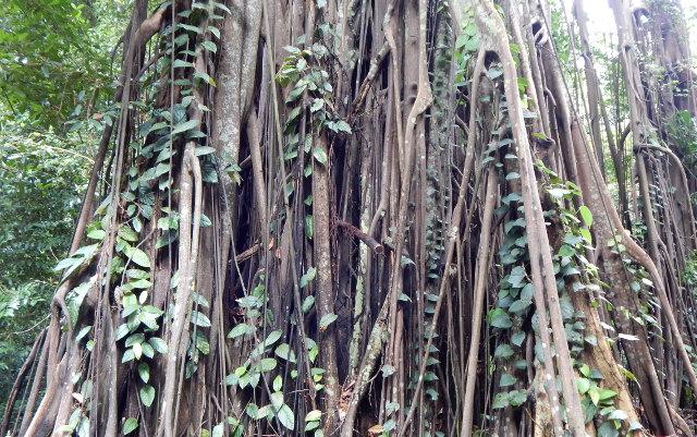 Ficus (Johor Strangler Fig)