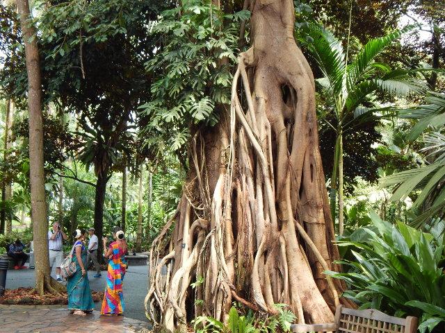 Großer Ficus im Botanischen Garten Singapur