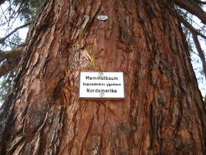 Amerikanischer Mammutbaum