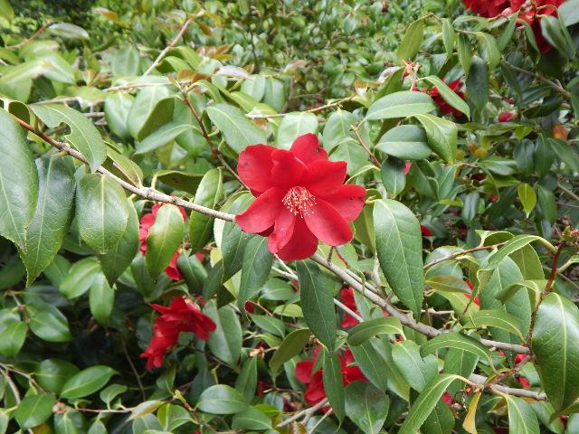 Rote Kamelienblüte