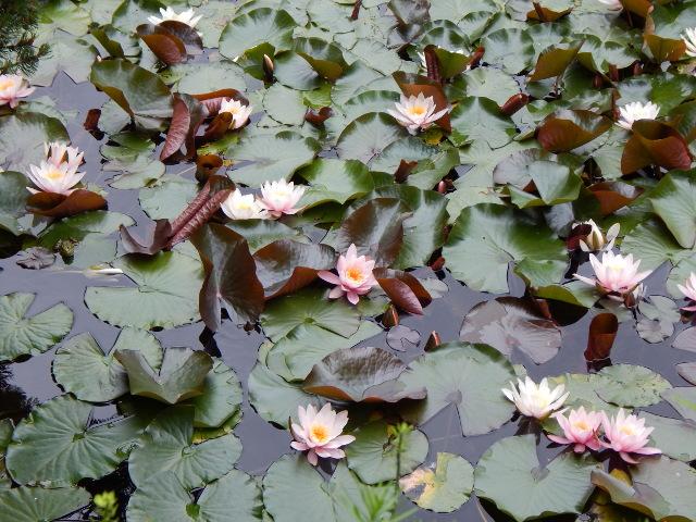 Seerosenteich in der Flora Köln