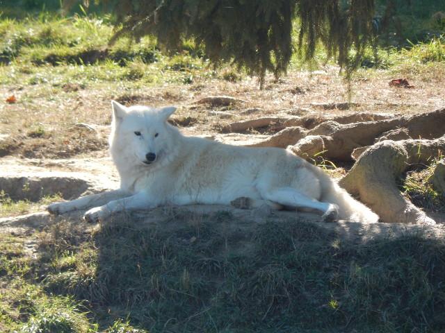 Der schneeweiße Polarwolf im Tierpark Rheinböllen