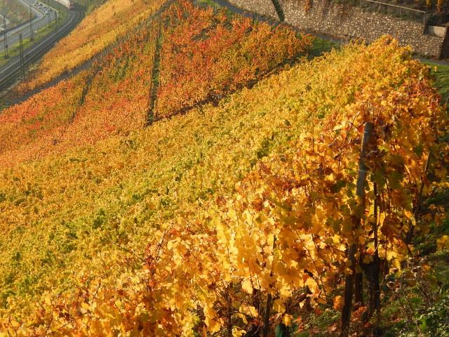 Ein Farbenmeer aus Weinreben
