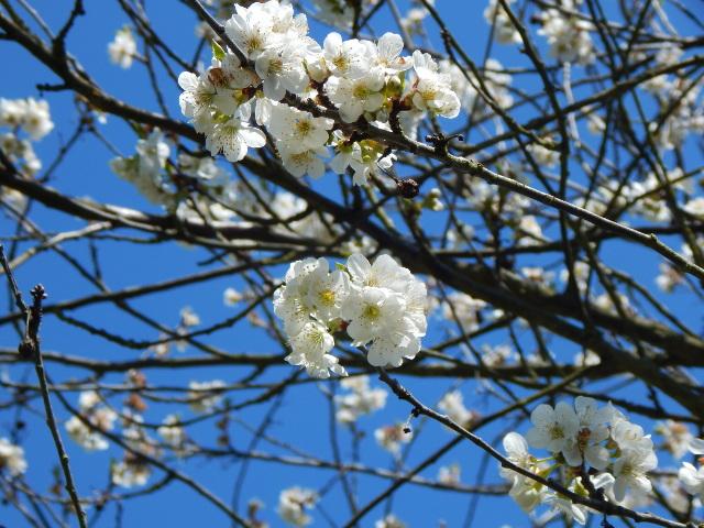 Es ist April, die Kirschbäume in Filsen blühen.