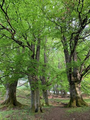 Hutewald mit knorrigen Eichen in der GrimmHeimat Nordhessen