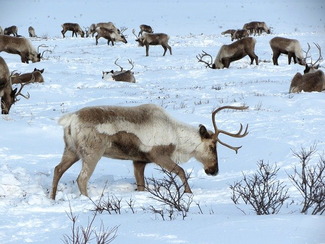 Rentiere in Lappland