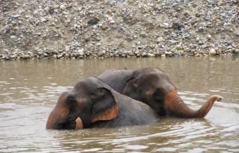 Elephant Bff's bathing together