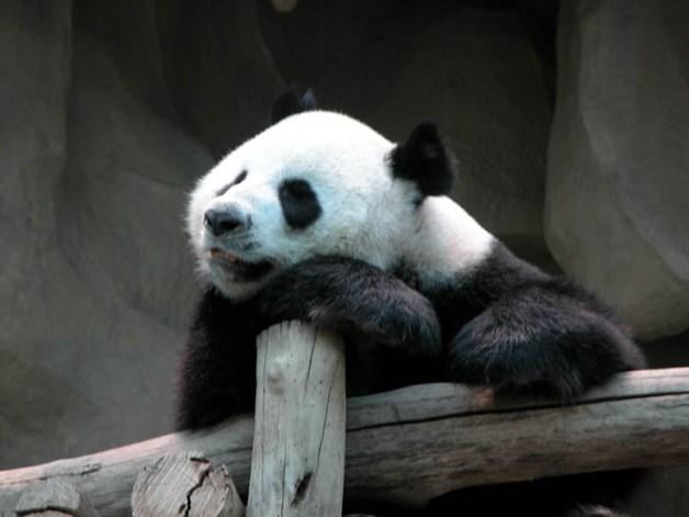 Mandatory panda photo, Chiang Mai Zoo.