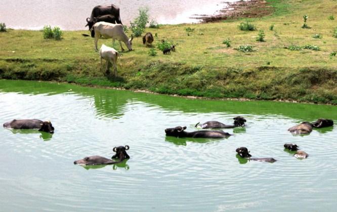Rajasthani Town Water Supply Buffalo Filtration System (TM). Bundi, Rajasthan.