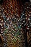 Plumage_1_by_LateRose_Stock