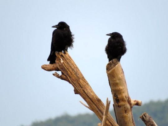 Two Crows On The Beach