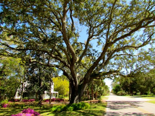 Gorgeous Live Oaks Line The Streets