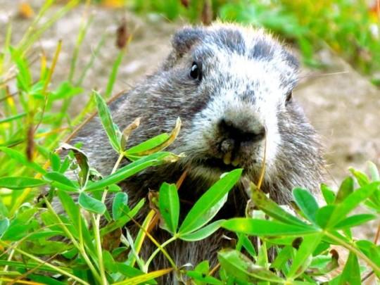 Rare Olympic Marmot